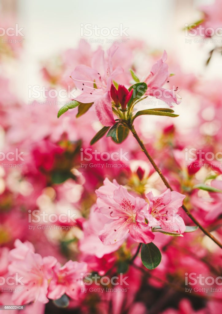 Blossoming Rhododendron flowers (Azalea) stock photo