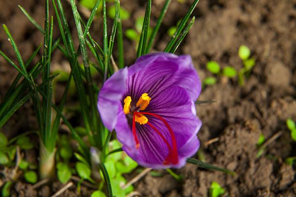 Blossoming saffron petal. Saffron flower in nature. saffron stock pictures, royalty-free photos & images
