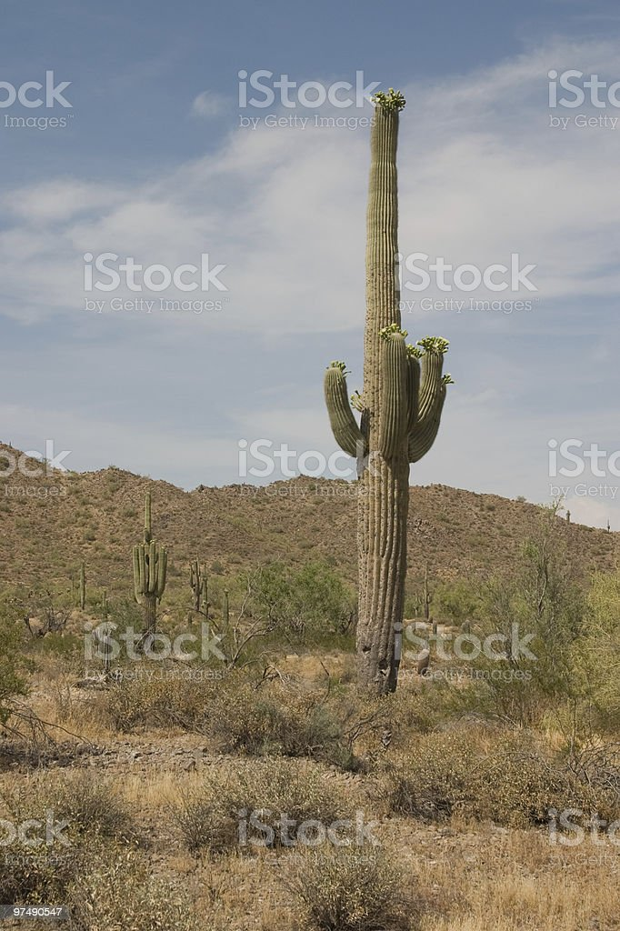 Blossoming Saguaro in Baked Desert royalty-free stock photo