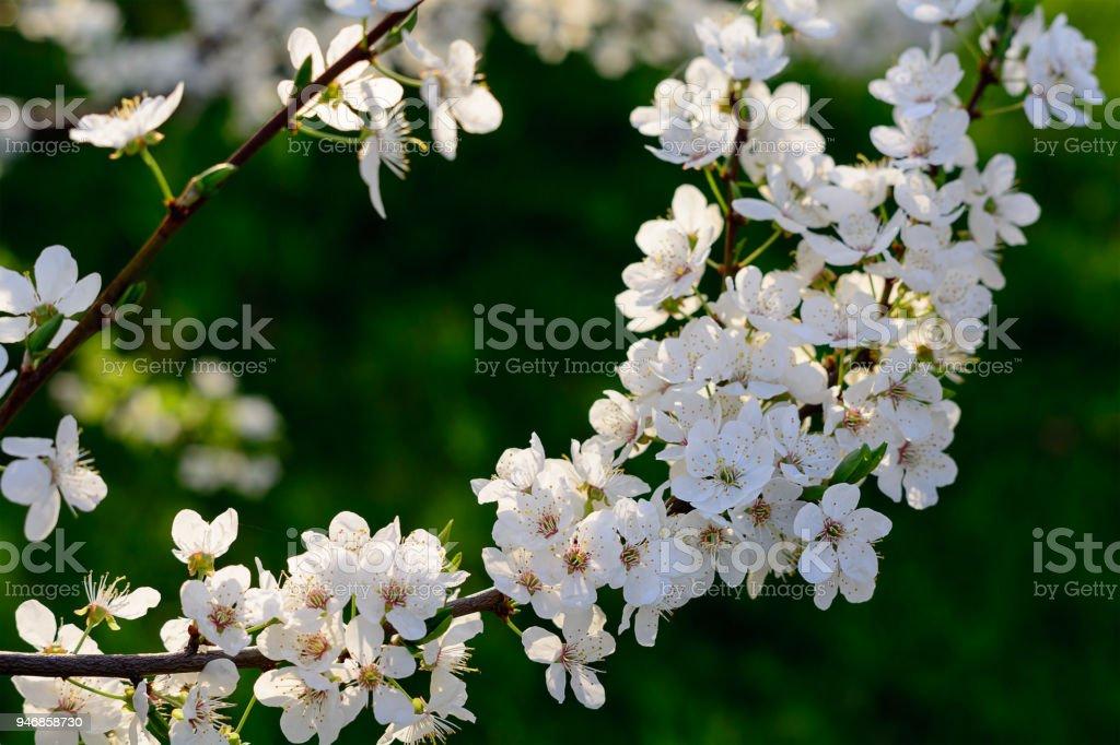Floraison de tige d'un arbre fruitier dans le jardin. Fleur blanche sur fond vert. Nombreuses fleurs de printemps sur branche d'arbre pomme ou aliche. - Photo