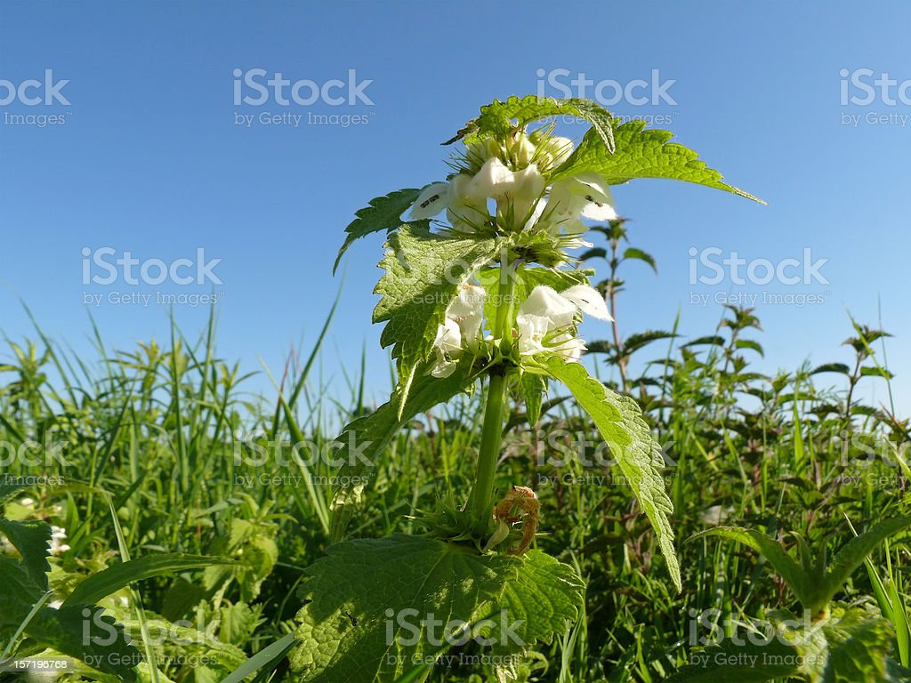 blossoming stinging nettle royalty-free stock photo