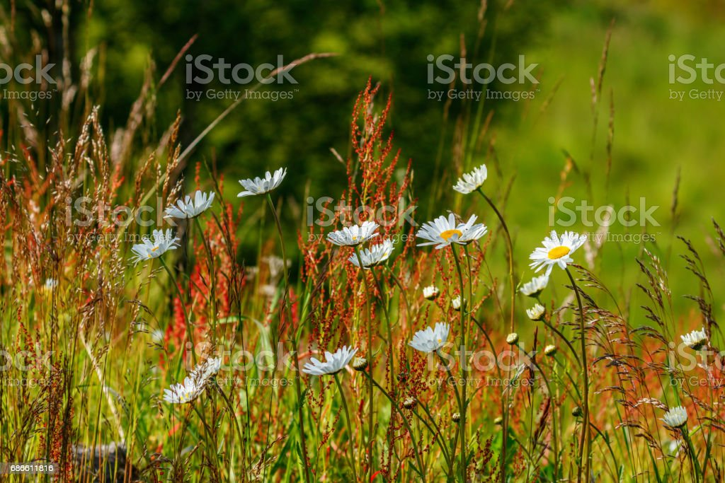 Blossoming summer meadow with oxeye daisy flowers royalty-free stock photo