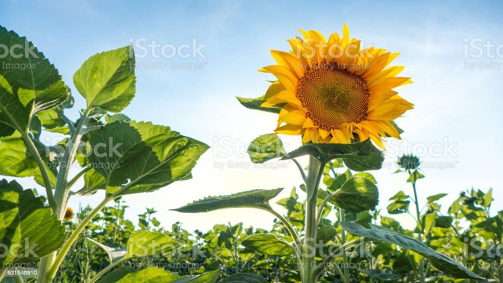 Blühenden Sonnenblumen Blume auf dem Feld-Hof – Foto