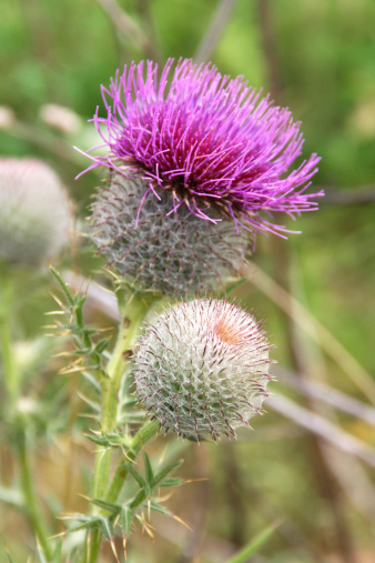 Blossoming thistle with pink flowers.