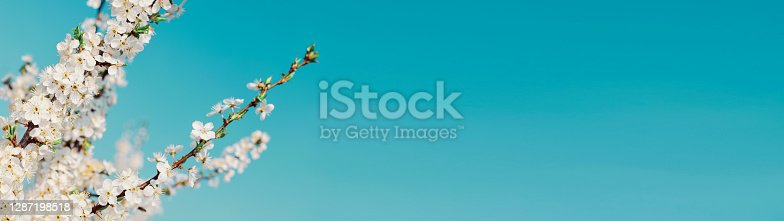 istock Blossoming tree branches springtime web banner 1287198518