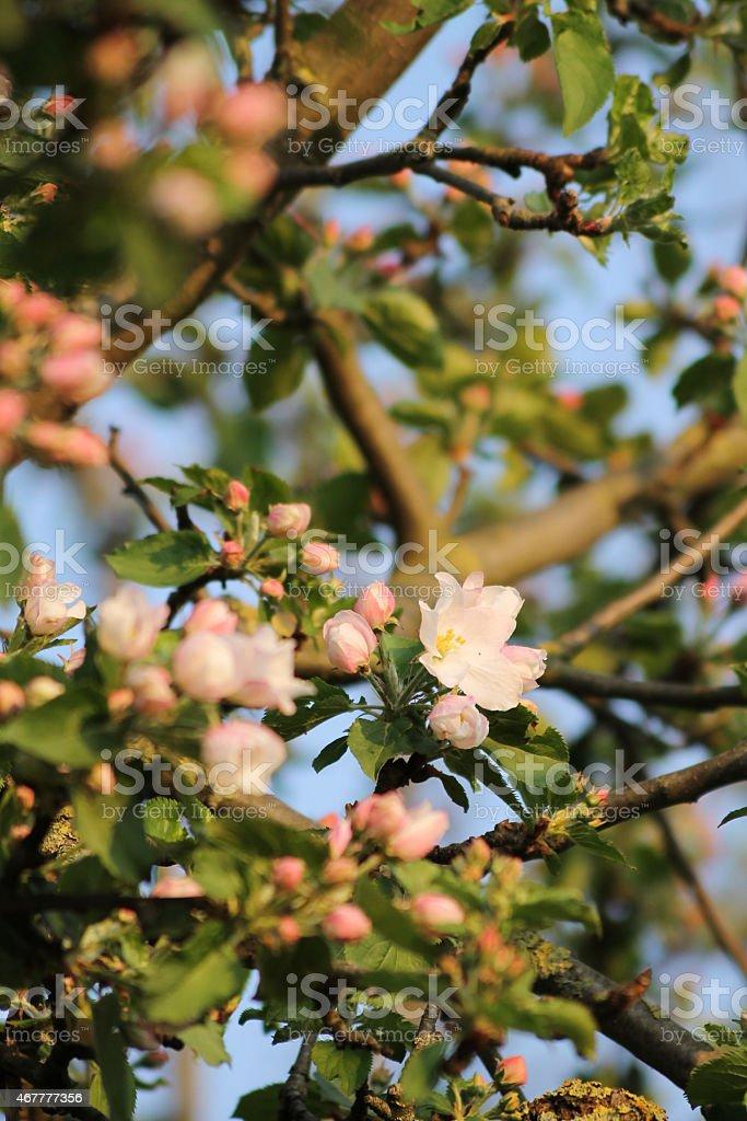 Blühende Baum im Frühjahr, Abend-Sonntag Kirsche – Foto