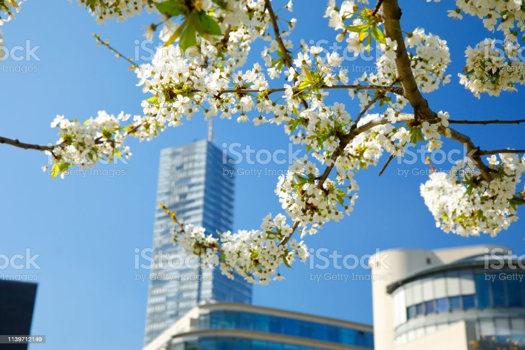 Blossoming Tree in the Mediapark, Cologne, Germany stock photo
