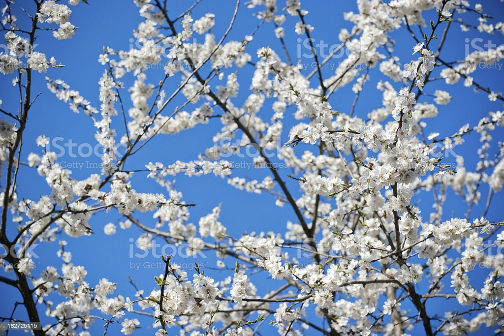 Blossoming Tree royalty-free stock photo