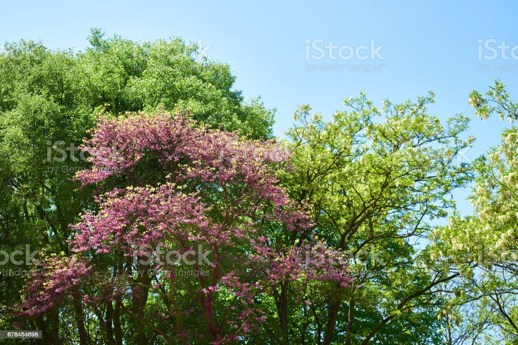 Blossoming trees in park royalty-free stock photo