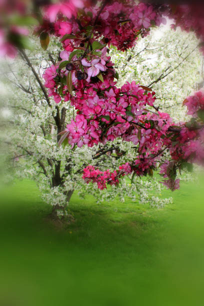 Blossoming  trees stock photo