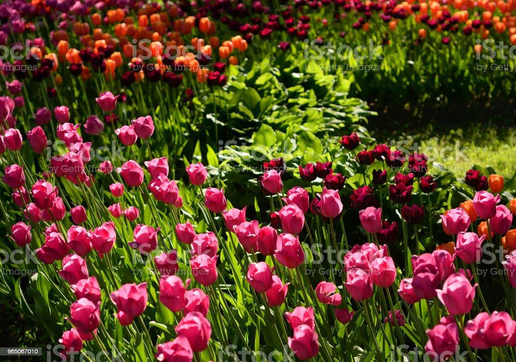Blossoming tulips background. zbiór zdjęć royalty-free