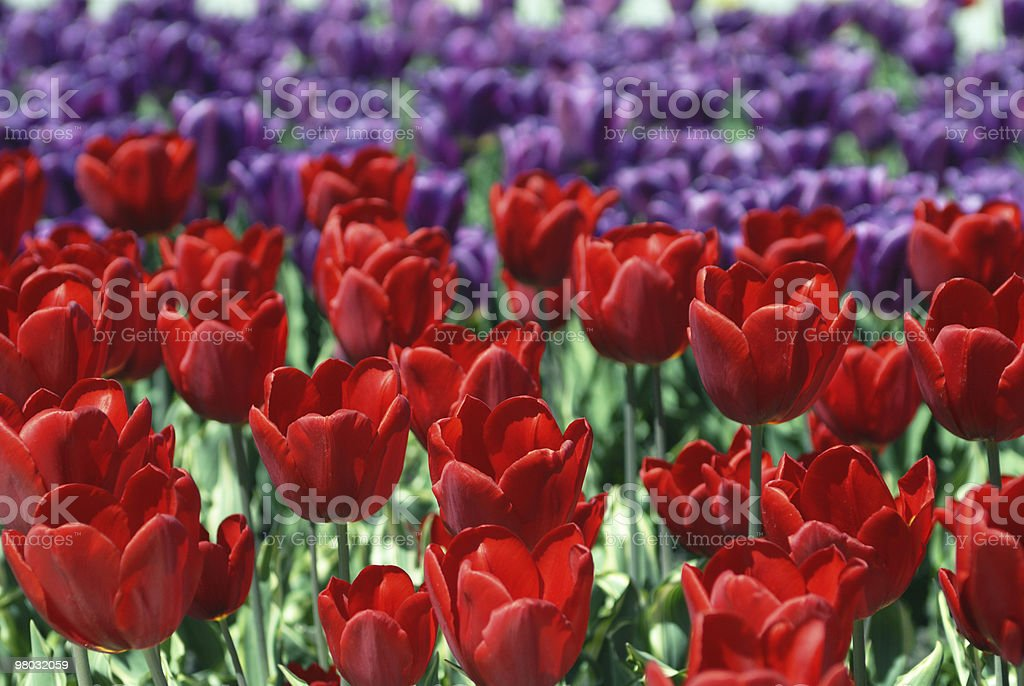 Tulipani in fiore foto stock royalty-free