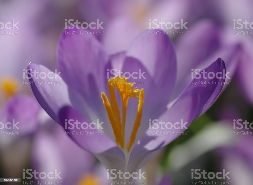 Blossoming violet crocus stock photo