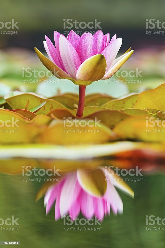 Blossoming water lily in a pond stock photo