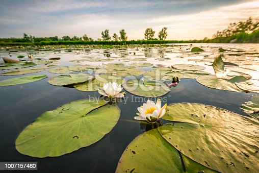 Two blossoming white water lilly flowers in a sunset over the Weerribben-Wieden nature reserve in Overijssel, The Netherlands. Close up image with a wide angle.