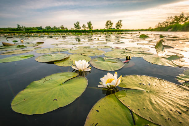 Blossoming white water lilly in a sunset over a nature reserve Two blossoming white water lilly flowers in a sunset over the Weerribben-Wieden nature reserve in Overijssel, The Netherlands. Close up image with a wide angle. water lily stock pictures, royalty-free photos & images