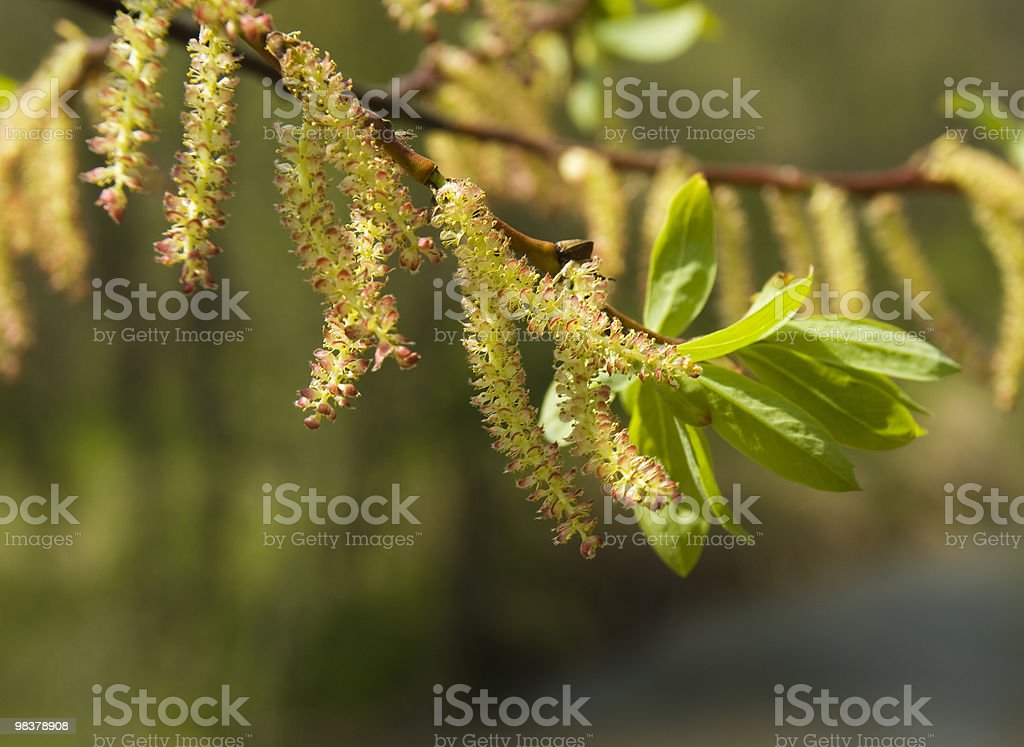 Blossoming willow. royalty-free stock photo