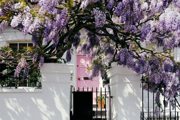 blühende wisteria baum vertuschung einer fassade eines hauses in notting hill, london - blauregen stock-fotos und bilder