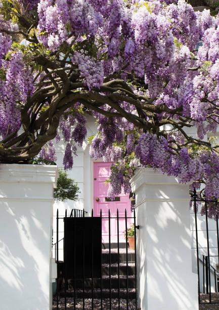 blühende wisteria baum vertuschung ein haus an einem sonnigen tag - blauregen stock-fotos und bilder