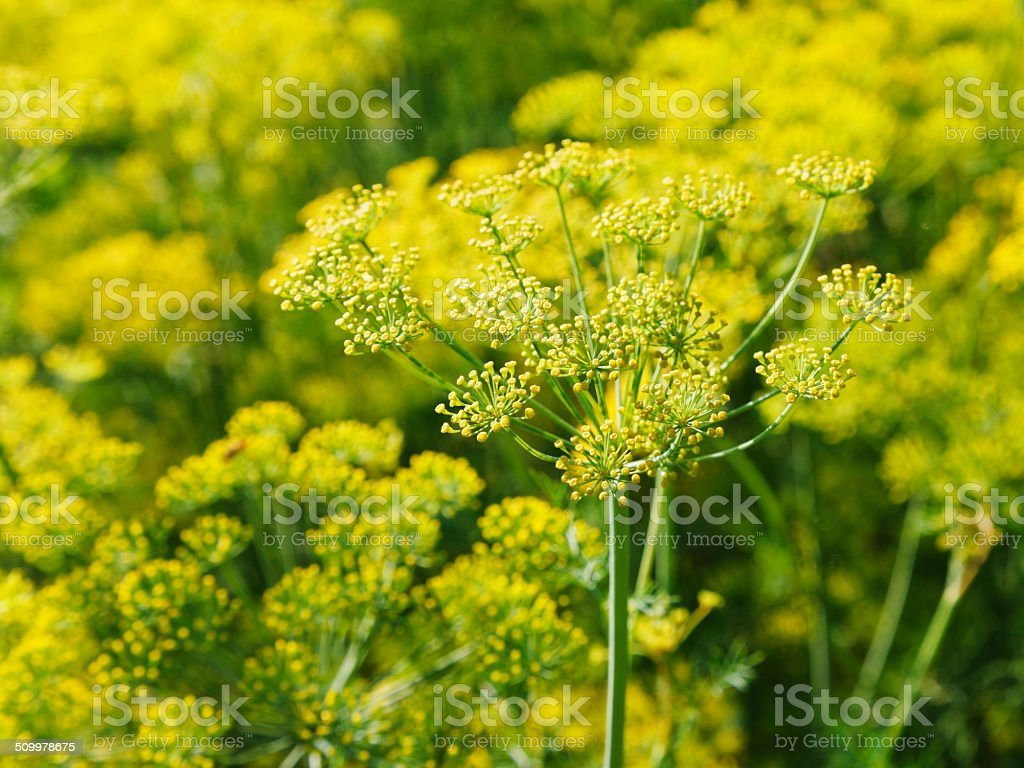 blossoming yellow dill herbs in garden stock photo