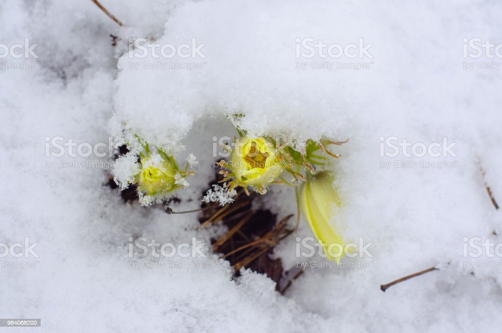 blossoming yellow pasque flowers pulsatilla grandis under snow in the meadow spring cloudy afternoon - Royalty-free Blossom Stock Photo