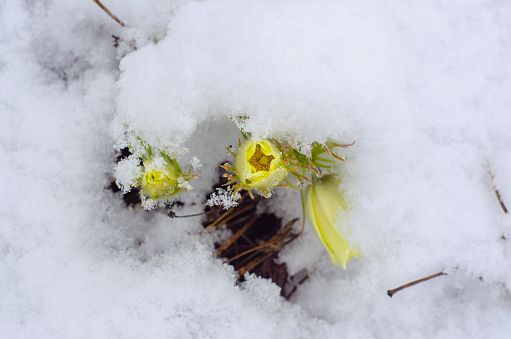 Blossoming Yellow Pasque Flowers Pulsatilla Grandis Under Snow In The Meadow Spring Cloudy Afternoon Stock Photo - Download Image Now