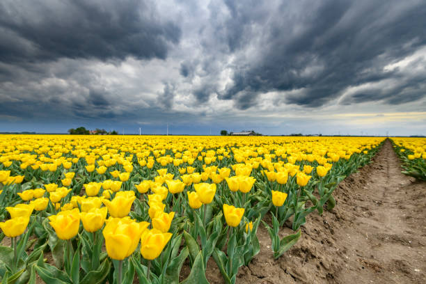 Blossoming yellow tulips in a field with a dark storm sky above