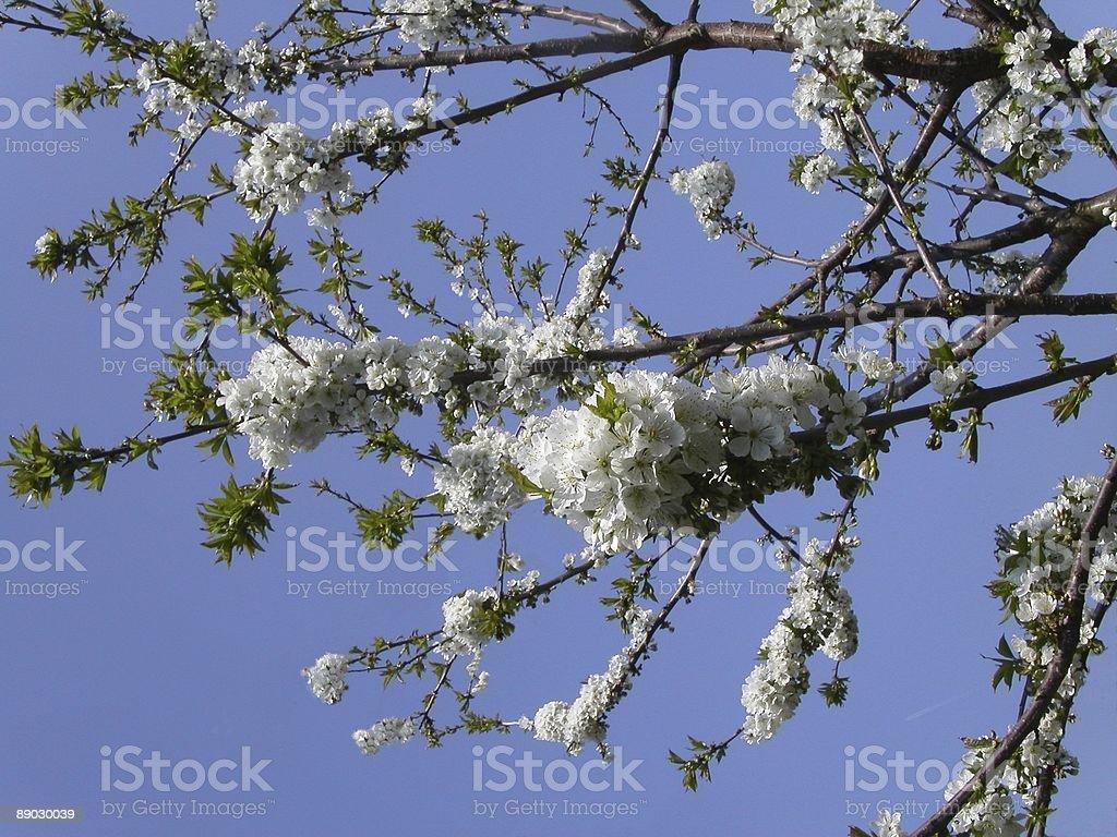 Cerisiers en fleurs et le ciel photo libre de droits