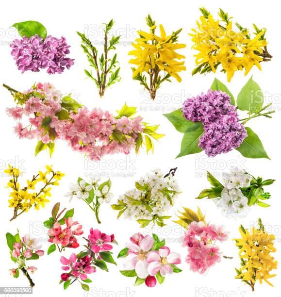 Blossoms apple tree cherry pear forsythia lilac spring flowers picture id666393560?b=1&k=6&m=666393560&s=612x612&h= tlh3hpzanu3scaxzv6pjy43k9j8pkswwlvdrbvjrdq=