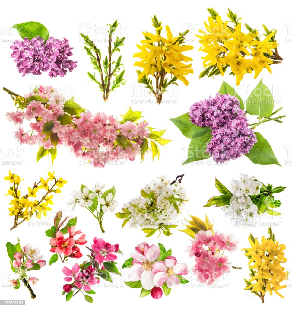 Blossoms apple tree cherry pear forsythia lilac Spring flowers stock photo