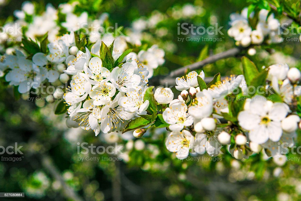 blossoms apple tree stock photo