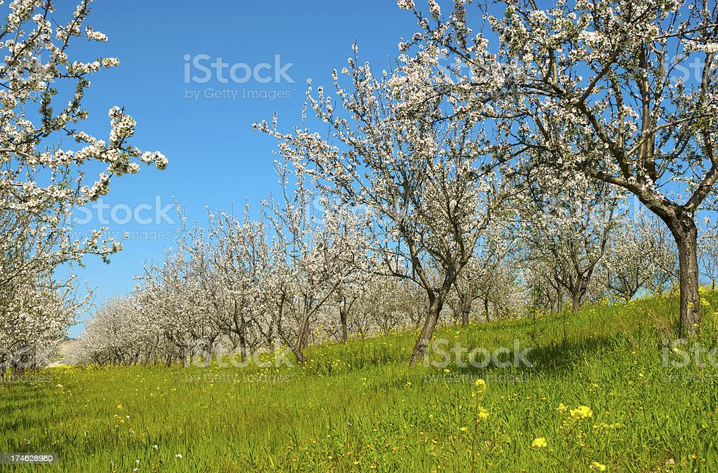 blossoms in spring stock photo