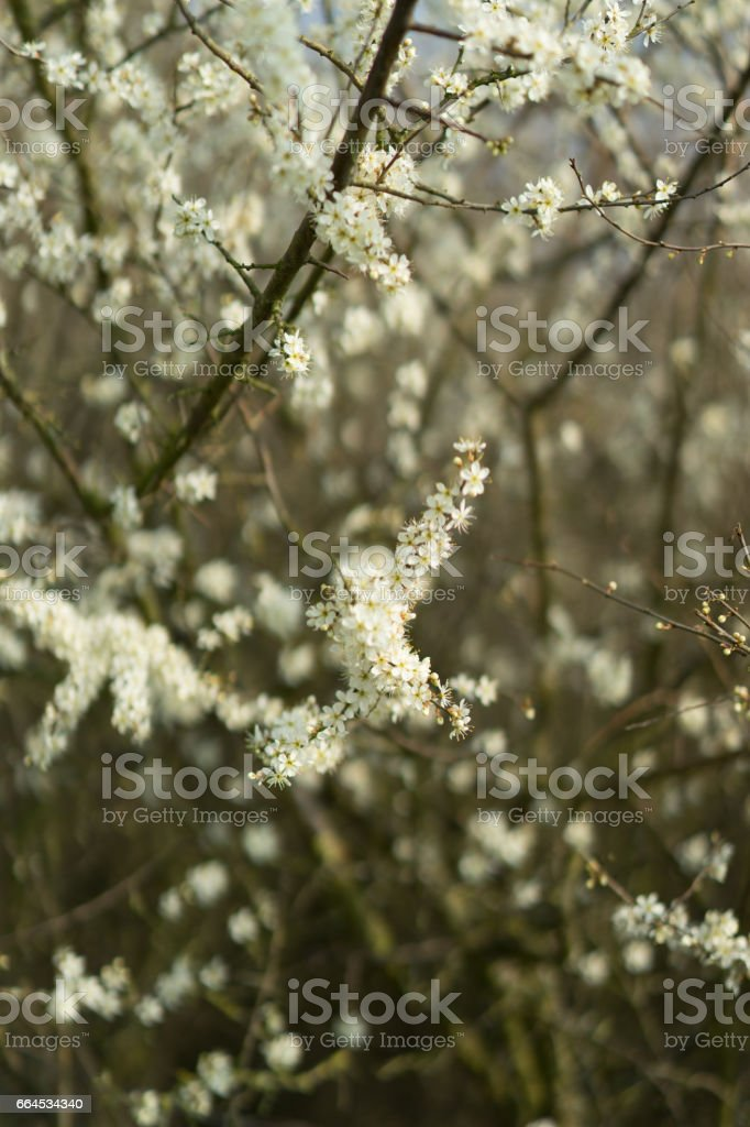 Blossoms in Spring royalty-free stock photo