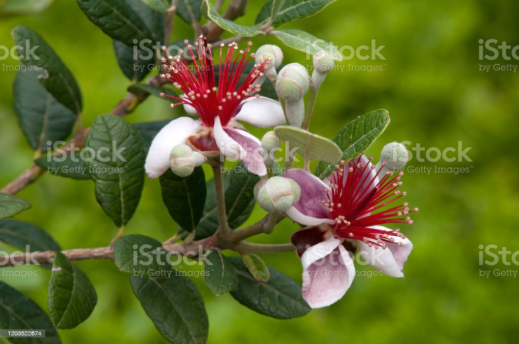 Blossoms Of A Acca Sellowiana Or Fruit Salad Tree Stock Photo