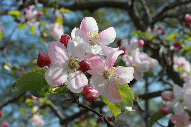 Blossoms of an apple tree (Malus domestica Rewena) stock photo