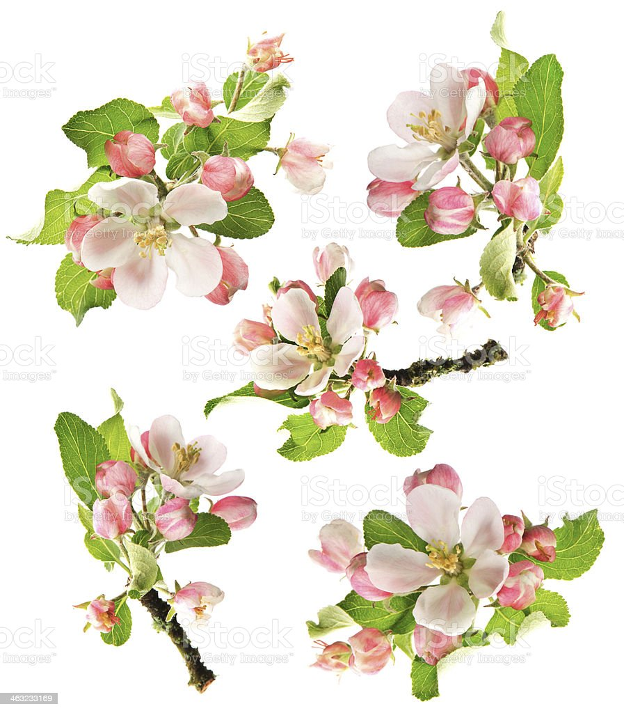 blossoms of apple tree isolated on white stock photo