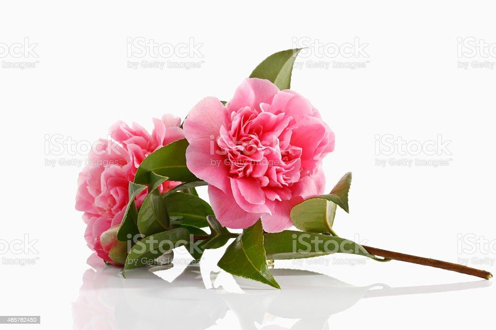 Blossoms of camellia , Camellia japonica stock photo
