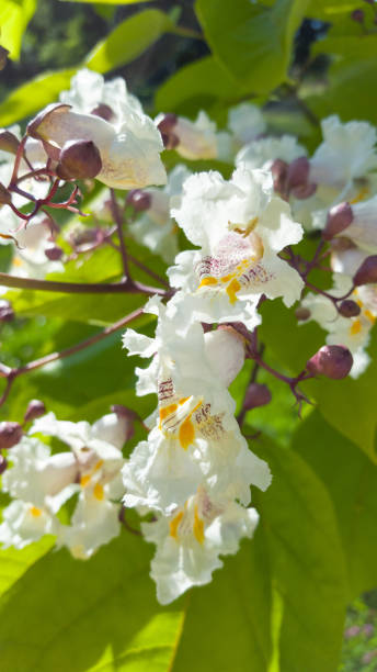 blüten von catalpa bignonioides baum - indische bohne - trompetenbaum stock-fotos und bilder