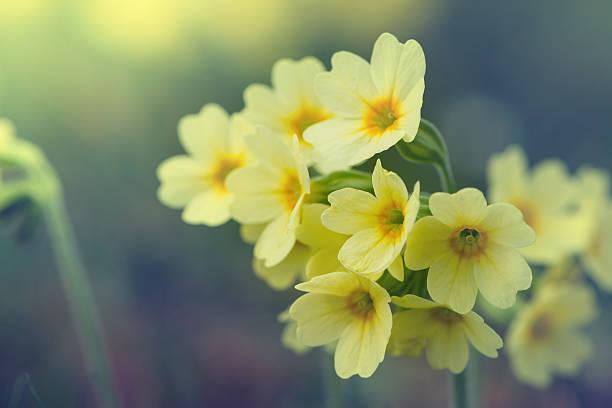 Blüten der gemeinsamen Wiesenschlüsselblume Blumen vintage-Stil – Foto