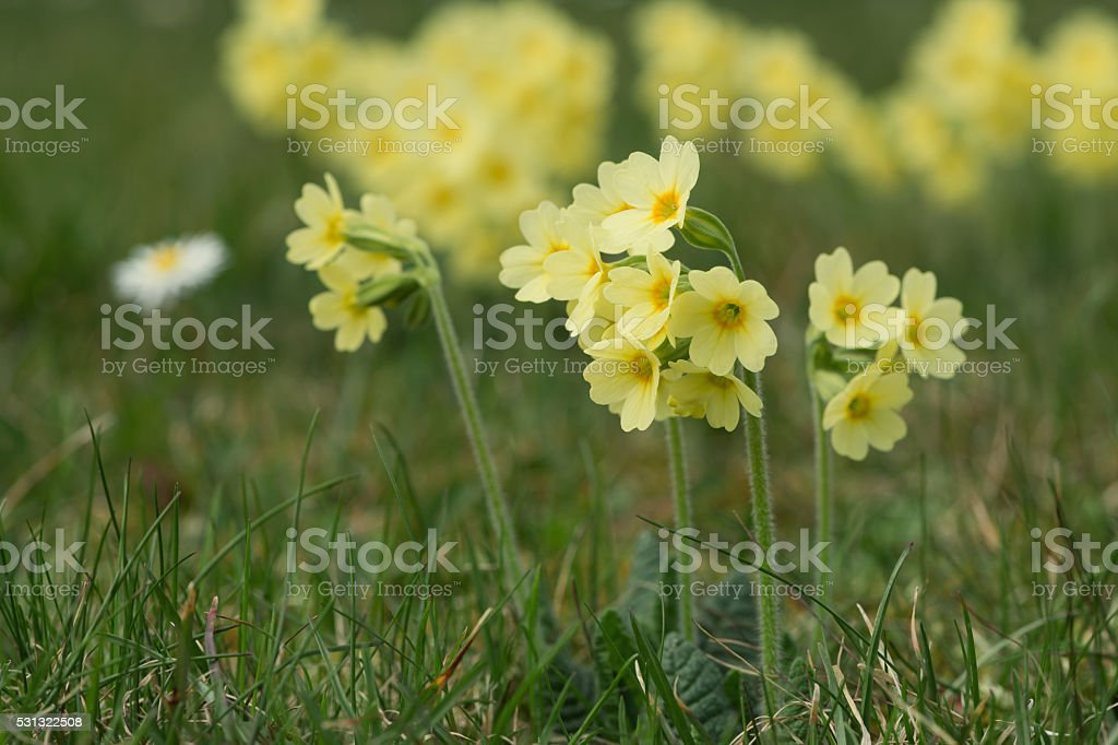 blossoms of common cowslip primula veris flower at spring stock photo
