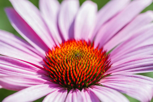 Blossoms of coneflowers (echinacea) in pink, yellow and orange