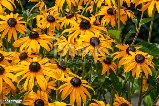 Blossoms of coneflowers (rudbeckia) in yellow and orange