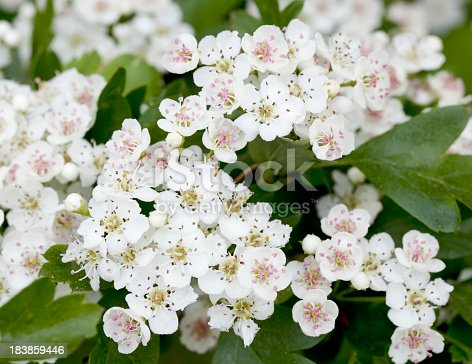 Shrub or small Tree, 2-10m tall, branches usually spiny. Leaves wedge shaped, deeply 3-7 lobed. Flowers white or sometimes pinkish, 8-15mm, styles generally 1. Berry red with a mealy exterior, 8-10mm, oval in outline, containing a single Stone fruit.