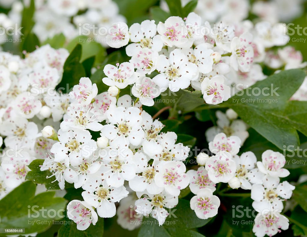 Blossoms of Hawthorn Crataegus monogyna or May Blossom stock photo