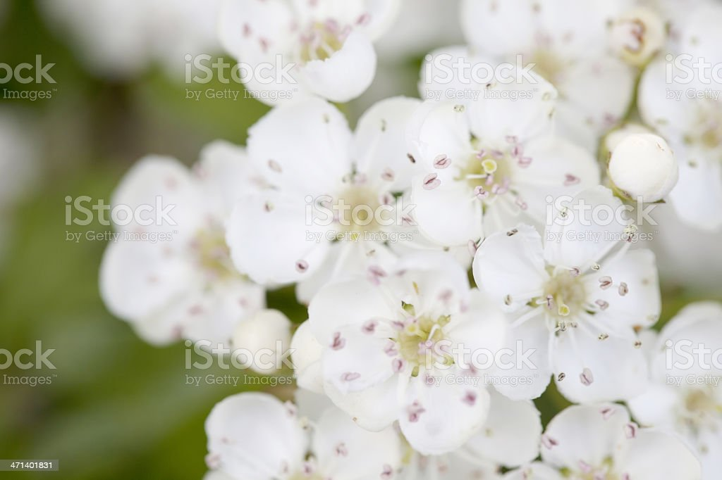 Blossoms of Hawthorn (Crataegus monogyna) or May Blossom royalty-free stock photo