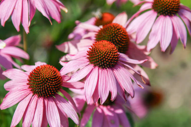 Blossoms of pink Echinacea