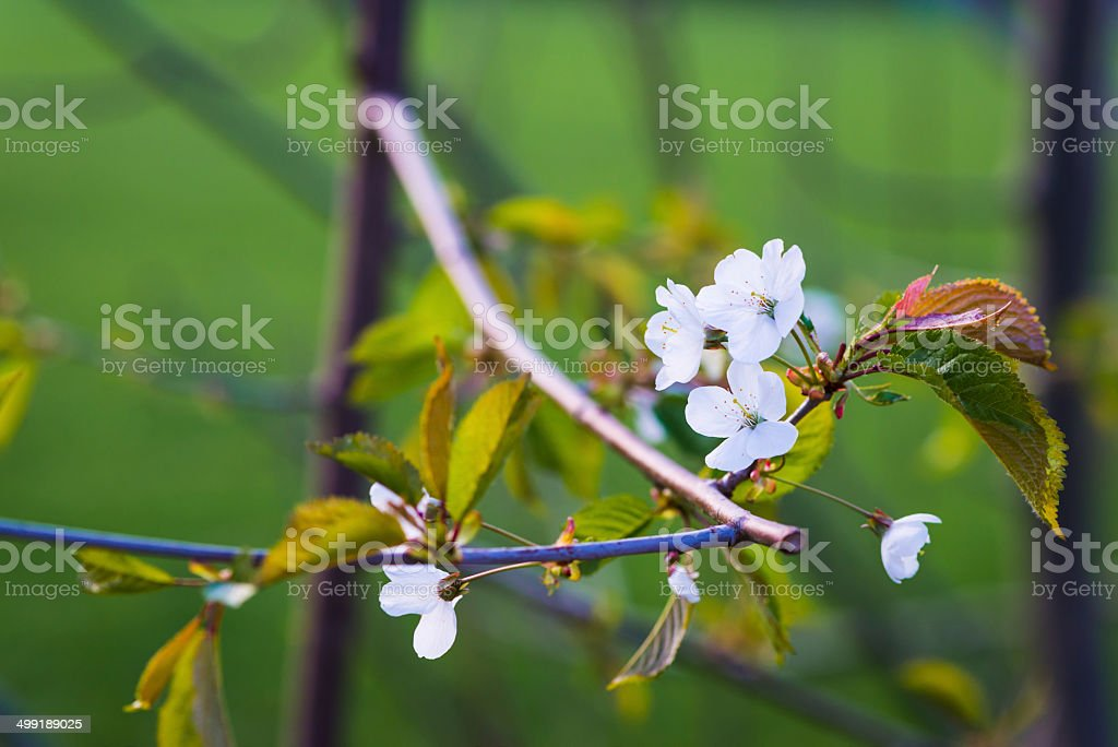 blossoms of Prunus avium tree with leafes and branches royalty-free stock photo