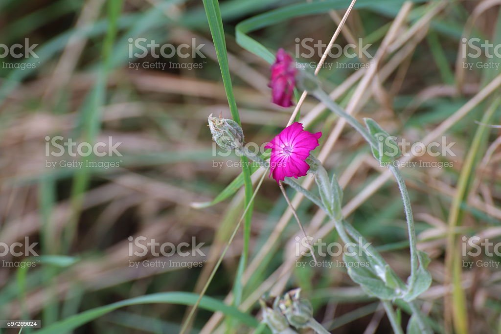 Blossoms of Silene coronaria, the rose campion Lizenzfreies stock-foto