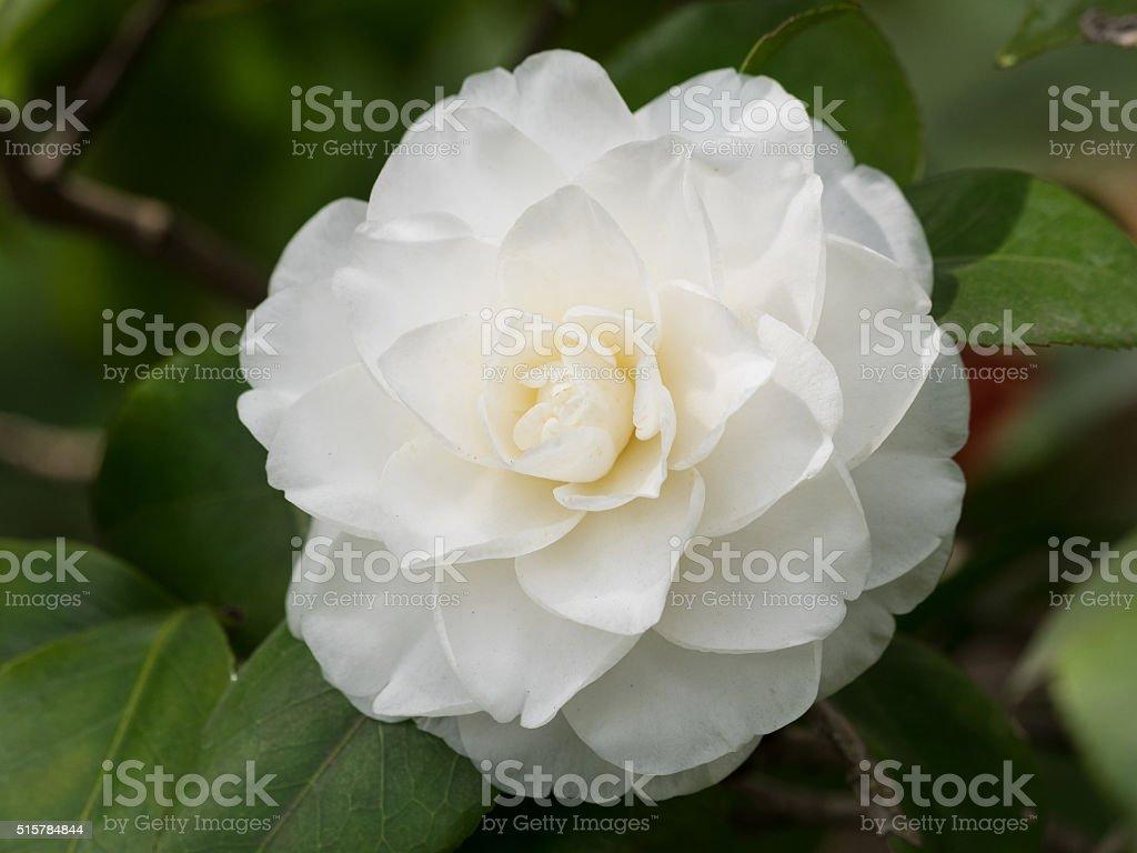Blossoms of white camellia , Camellia japonica stock photo