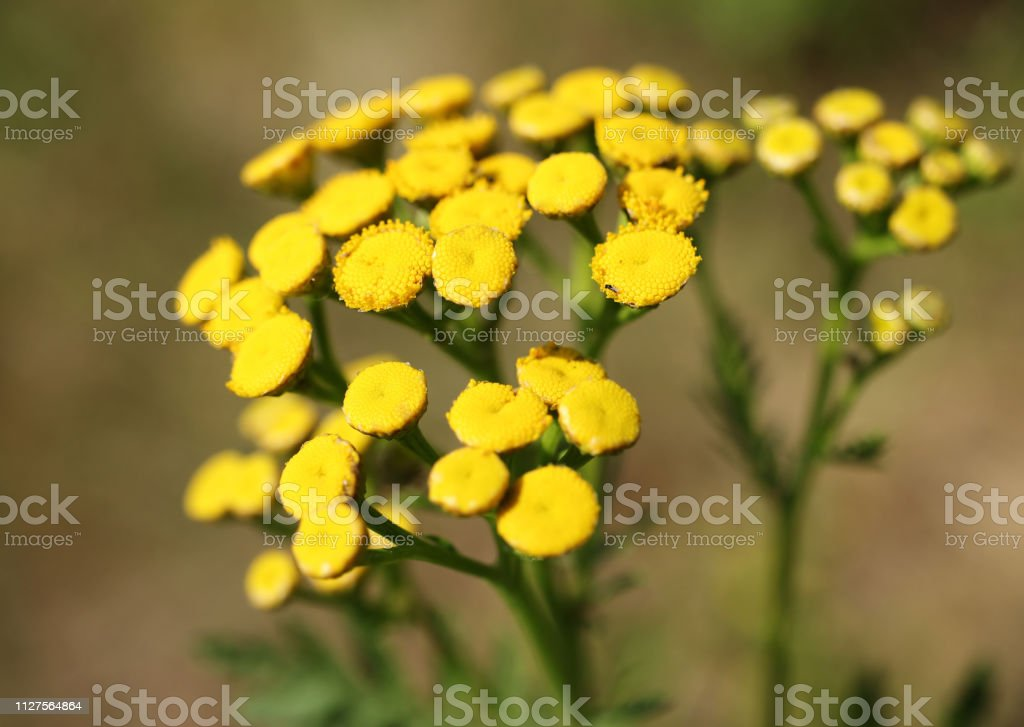 Blossoms of yeallow tansy from close-up. Perennial flower. Herbaceous flower.